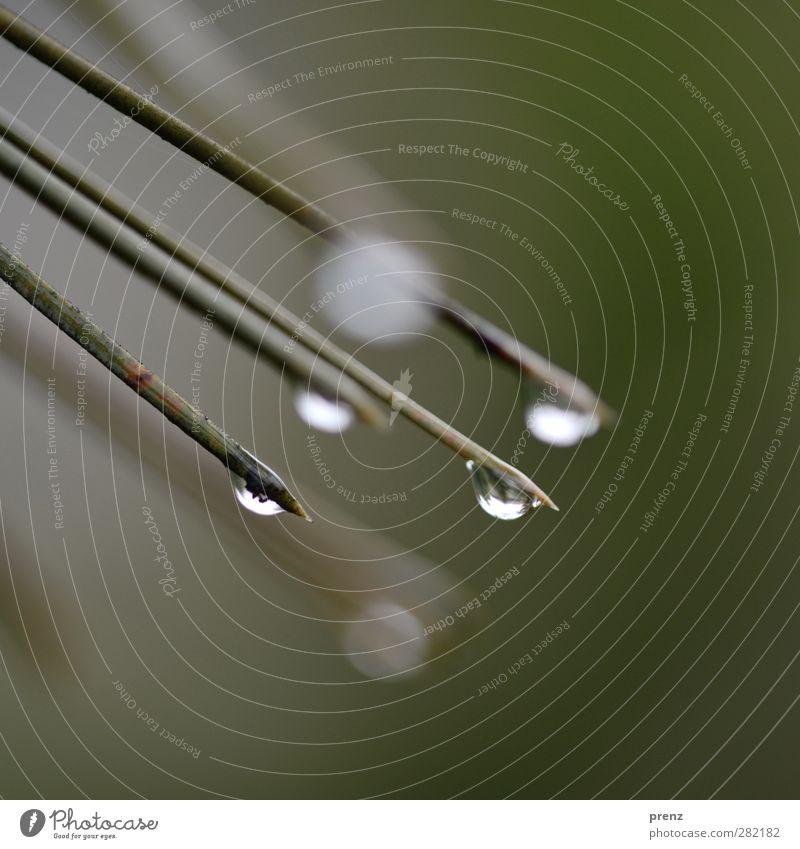 Zeit für Tränen Umwelt Natur schlechtes Wetter Regen grau grün Wassertropfen Kiefer Kiefernnadeln Außenaufnahme Nahaufnahme Makroaufnahme Menschenleer