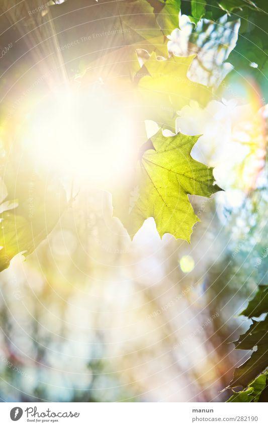 Herbstsonne Natur Frühling Sommer Schönes Wetter Baum Blatt Ahornblatt Ahornzweig leuchten authentisch hell natürlich Farbfoto Menschenleer Textfreiraum links