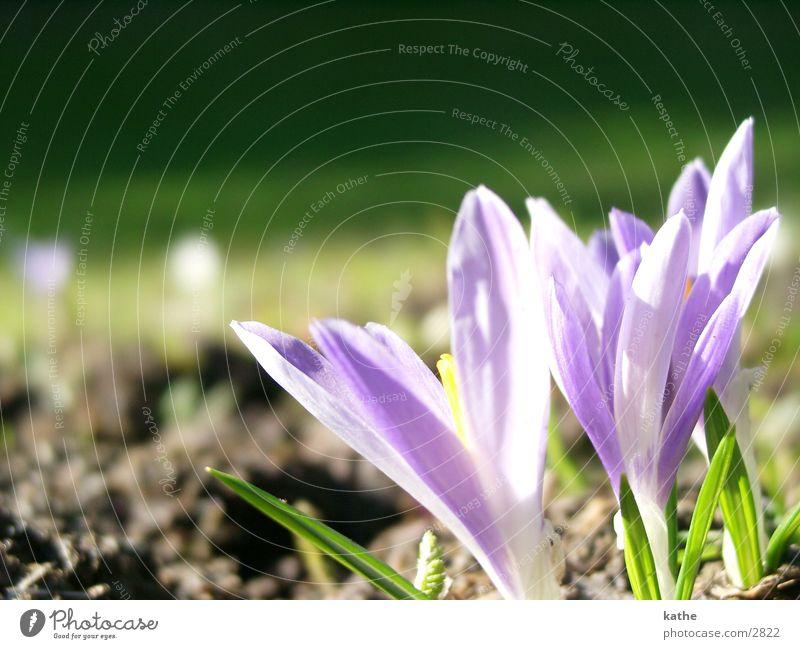 krokussse Blume grün Gras Frühling Erde violett Krokusse