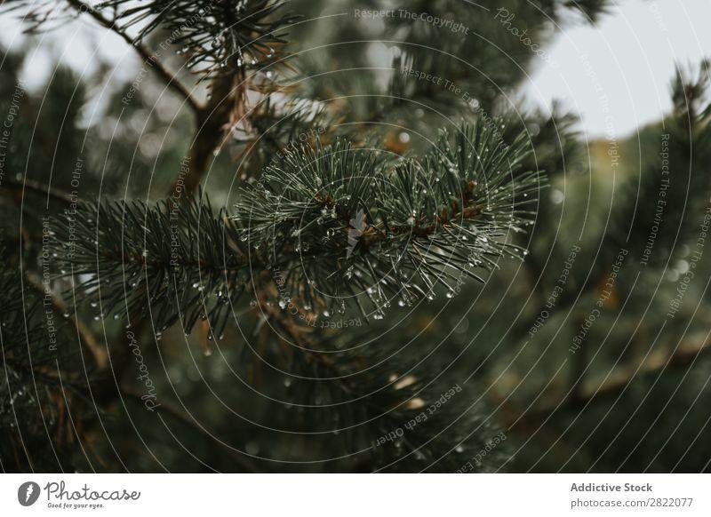 Tannenzweig mit Wassertropfen Ast Immergrün Nahaufnahme Baum Natur Jahreszeiten Makroaufnahme Kiefer Dekoration & Verzierung Nadel nadelhaltig Wald Pflanze