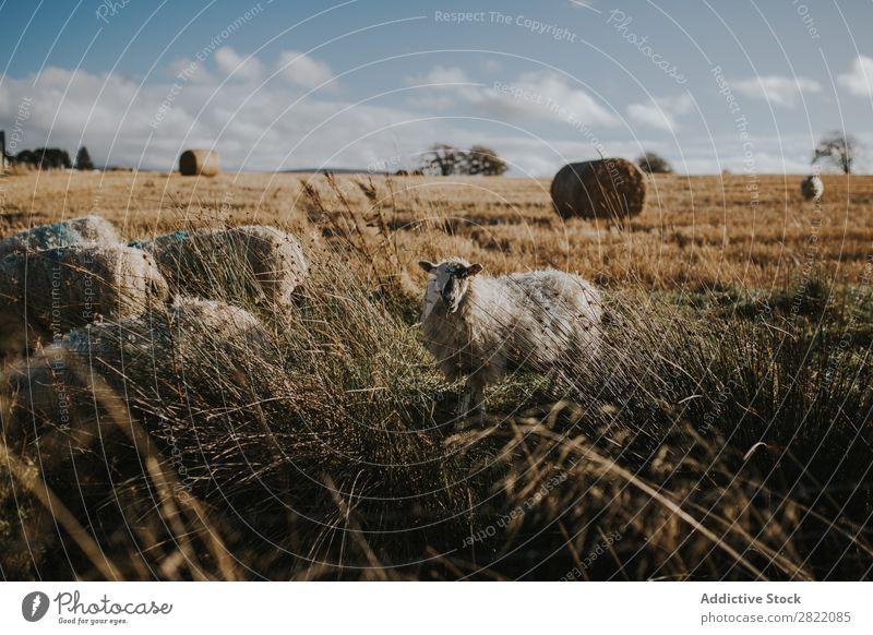 Schafweide auf dem Feld weidend Gras Weide Bauernhof Natur Wiese Tier grün ländlich Landwirtschaft Landschaft regenarm Heu Walze Vieh Schafherde Fressen