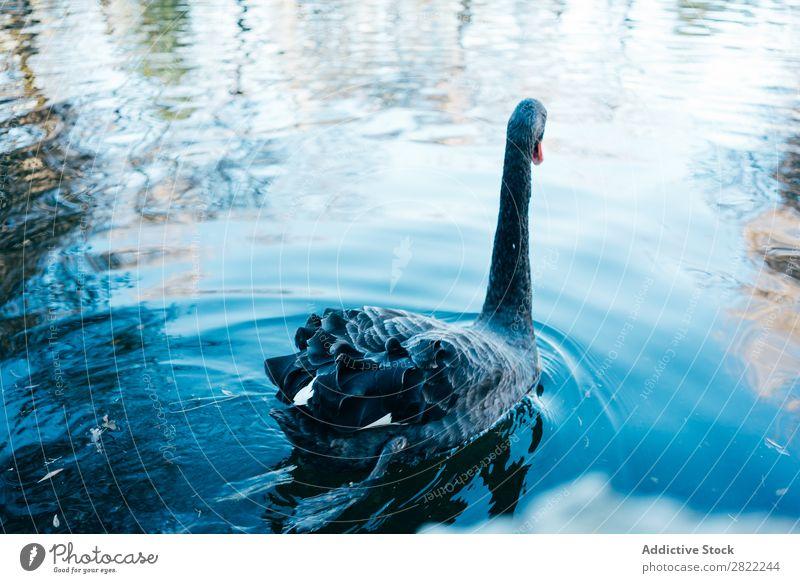 Schwan schwebt im See fliegend Vogel Wasser Tierwelt Natur schwarz ruhig Beautyfotografie Reflexion & Spiegelung wild schön friedlich Teich Anmut blau lieblich