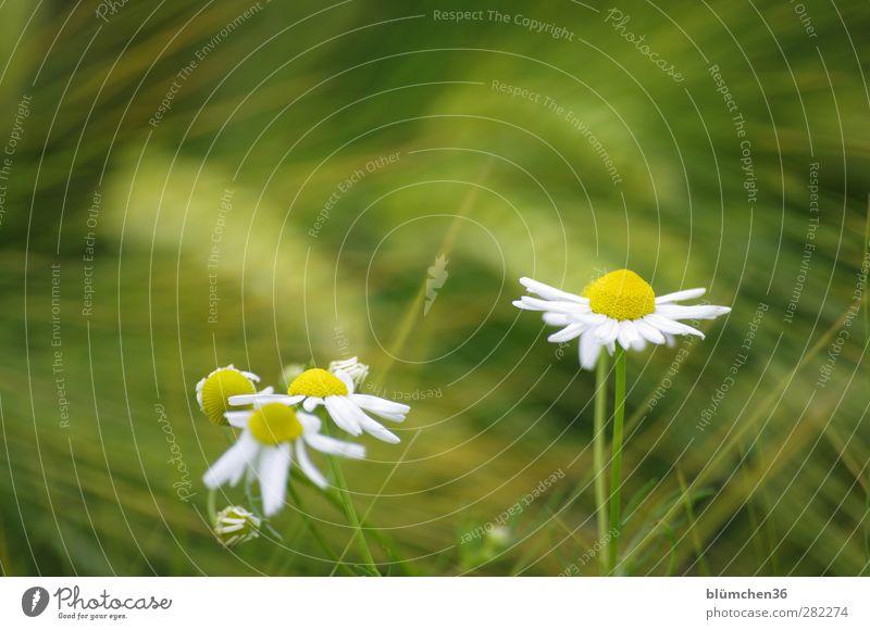Am Feldrand Pflanze Blume Nutzpflanze Kamille Kornfeld Bewegung Blühend schaukeln Gesundheit schön gelb grün weiß Frühlingsgefühle Romantik Gesundheitswesen
