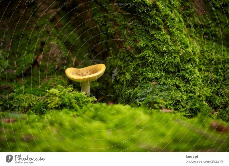 Glückspilz Umwelt Natur Urelemente Erde Herbst Schönes Wetter Park Wald unten gelb grün Baumstamm beige Pilz Pilzhut alt Moos Moosteppich braun Schweiz