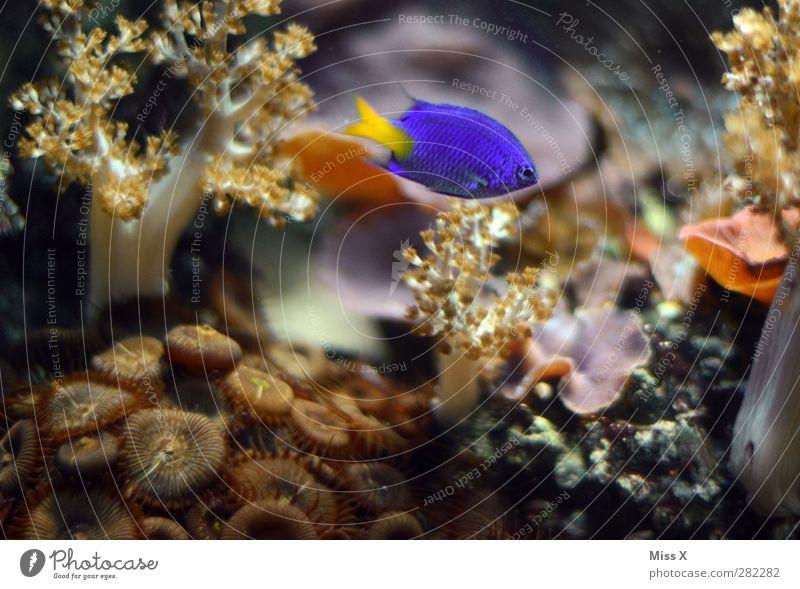 Unterwasser blau Pflanze Tier Wasser Korallenriff Meer Fisch 1 Aquarium Zierfische Anemonenfische Farbfoto mehrfarbig Nahaufnahme Unterwasseraufnahme