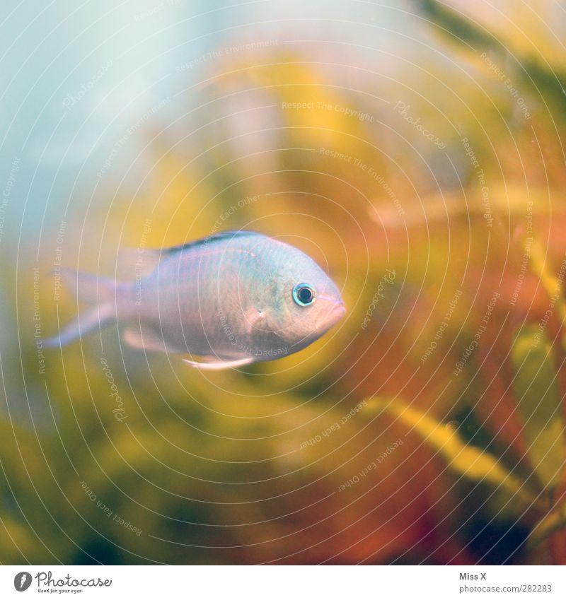 Unterwasser Wasser Korallenriff Meer Tier Fisch 1 Schwimmen & Baden hell-blau Aquarium Farbfoto mehrfarbig Nahaufnahme Unterwasseraufnahme Menschenleer