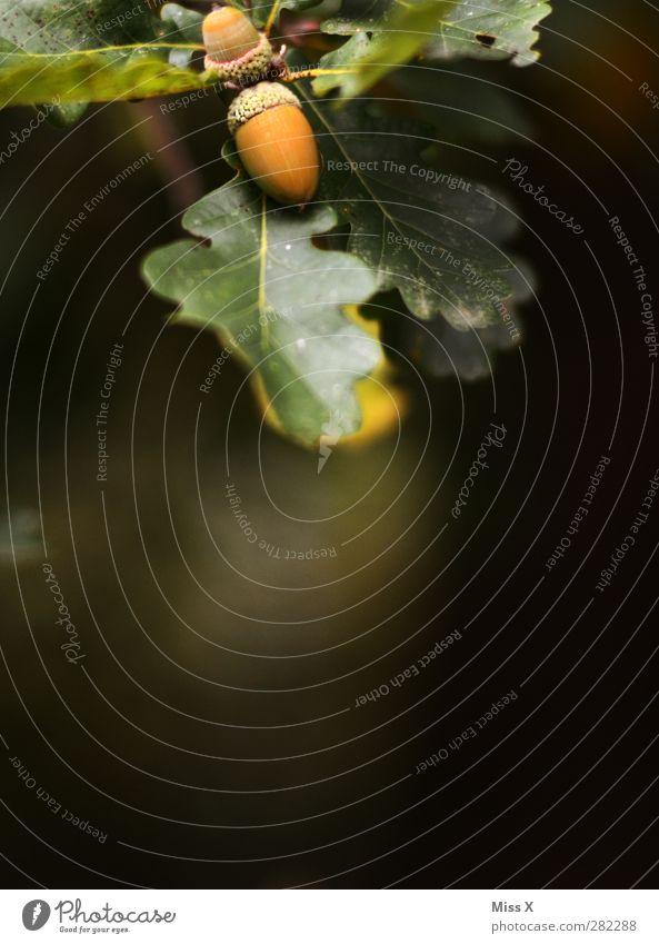 Eichel Natur Herbst Baum Sträucher Blatt Wald klein Eicheln Eichenblatt Herbstwald herbstlich Frucht Herbstlaub Farbfoto Außenaufnahme Nahaufnahme Menschenleer