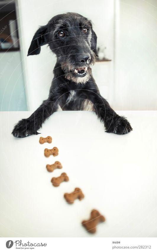 *2.100* Knochenjob Hund weiß Freude Tier schwarz lustig außergewöhnlich Fröhlichkeit Tisch niedlich Kreativität Fell Idee Tiergesicht Appetit & Hunger Haustier