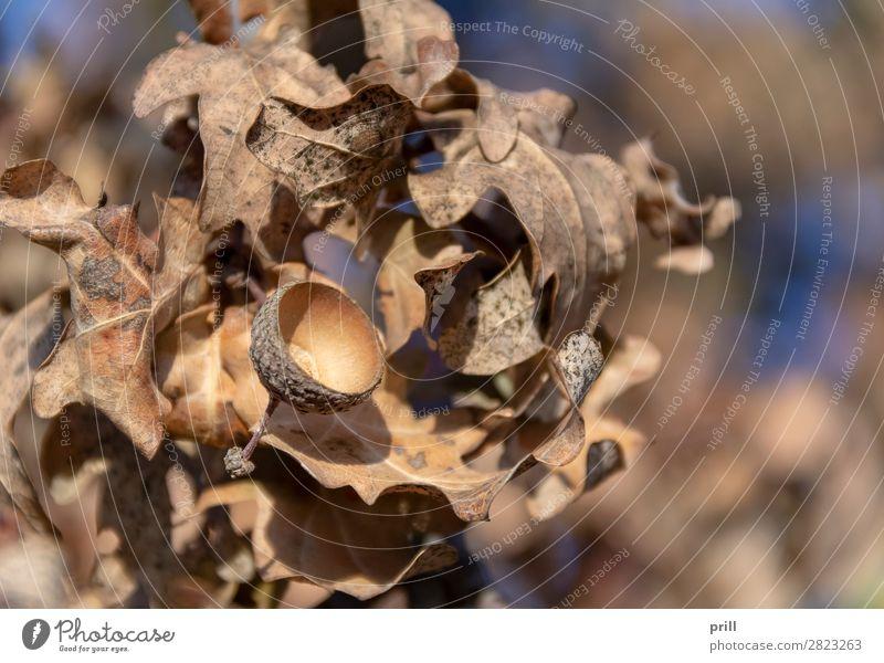 sere oak detail Natur Pflanze Herbst Dürre Blatt trocken braun Hülle Eiche Eicheln vertrocknet ausschnitt Hintergrundbild natürlich wasserfrei zerbrechlich