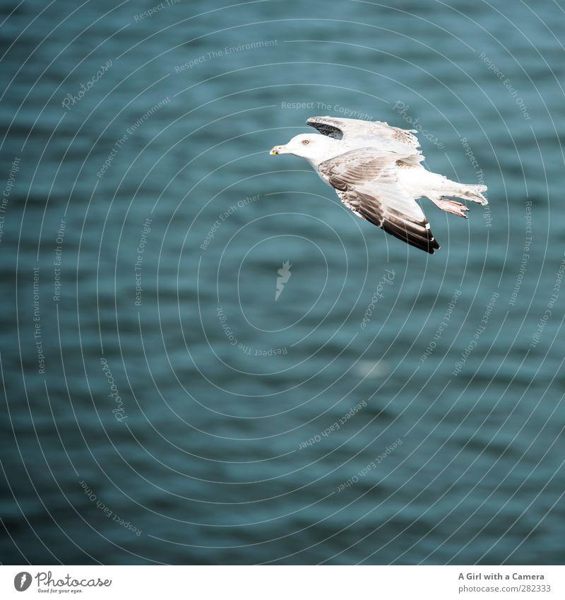 flying by Tier Wildtier Vogel Möwe 1 fliegen frei schön wild Meer Gedeckte Farben Außenaufnahme Detailaufnahme Menschenleer Textfreiraum links