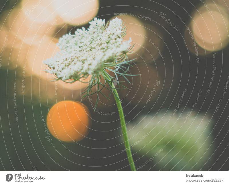 Abendstimmung Garten Pflanze Blume Gras Blüte Freude Glück Zufriedenheit schön Unschärfe Sonnenlicht Außenaufnahme available light Gedeckte Farben Nahaufnahme