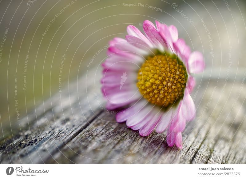 Gänseblümchenpflanze Blume Korbblütengewächs weiß Blütenblatt Pflanze Garten geblümt Natur Dekoration & Verzierung Romantik Beautyfotografie zerbrechlich