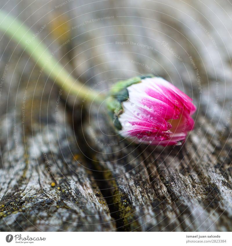 Gänseblümchenpflanze Blume Korbblütengewächs weiß Blütenblatt Pflanze Garten geblümt Natur Dekoration & Verzierung romantisch Beautyfotografie zerbrechlich