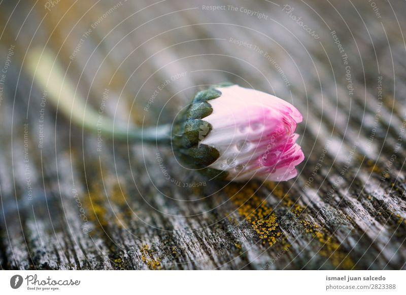 Gänseblümchenpflanze Blume Korbblütengewächs Margerite weiß Blütenblatt Pflanze Garten geblümt Natur Dekoration & Verzierung romantisch Beautyfotografie