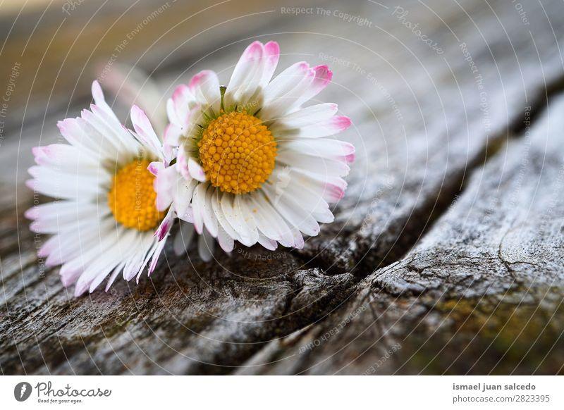 Gänseblümchenpflanze Blume Korbblütengewächs Margerite weiß Blütenblatt Pflanze Garten geblümt Natur Dekoration & Verzierung Romantik Beautyfotografie