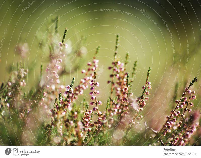 Sitzgelegenheit / für ein schönes Herbstpicknick Umwelt Natur Landschaft Pflanze Blume Sträucher Blüte Garten Park hell natürlich grün Heide Heidekrautgewächse