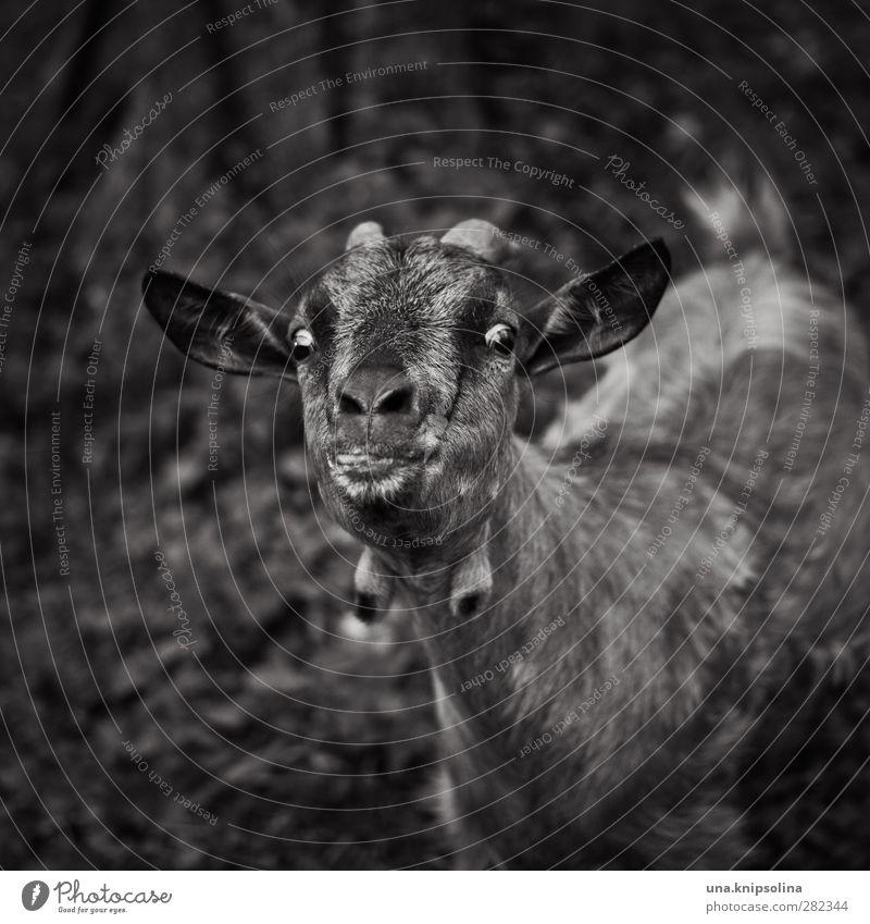 verrückte ziege Tier Nutztier Tiergesicht Fell Ziegen Horn 1 beobachten lustig natürlich Neugier Zunge Blick Schwarzweißfoto Außenaufnahme