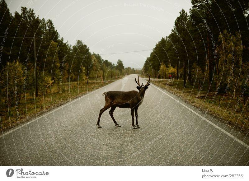 Rudi steht im Weg Natur Ferien & Urlaub & Reisen grün Landschaft Tier Straße Herbst Anti-Weihnachten braun wild stehen Tiergesicht frech Hirsche Autofahren