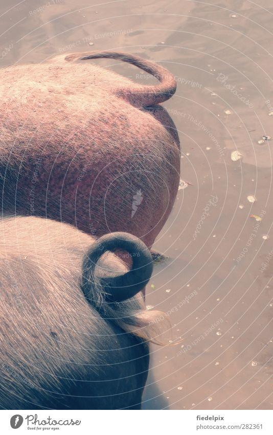 Yippie-Ya-Yeah, Schweinebacke! Tier Glück grau Freundschaft Zusammensein rosa Tierpaar rund skurril dick Haustier Partnerschaft Verschiedenheit Spirale kuschlig