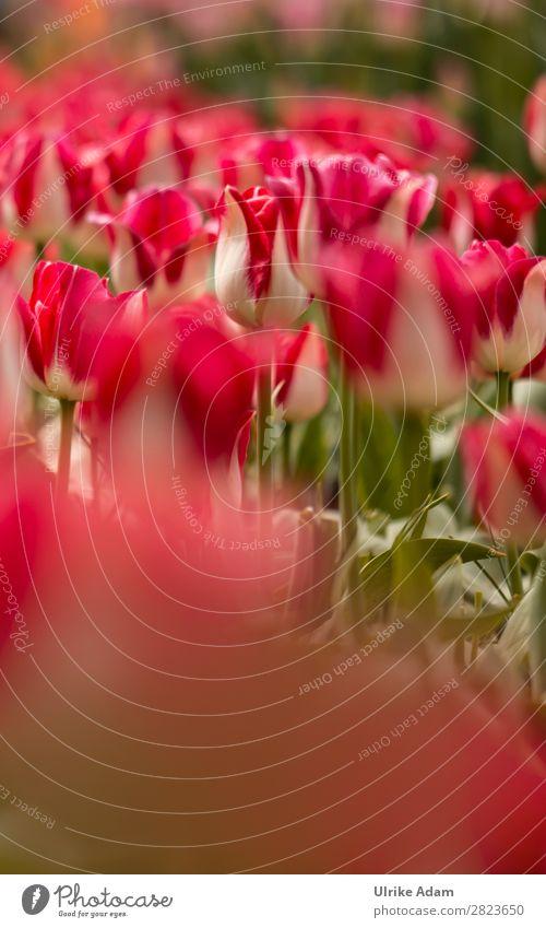 Blumen - Rote Tulpen Natur Pflanze Farbe rot Blüte Frühling Feste & Feiern Garten Design Dekoration & Verzierung Park Feld Romantik Ostern Wellness