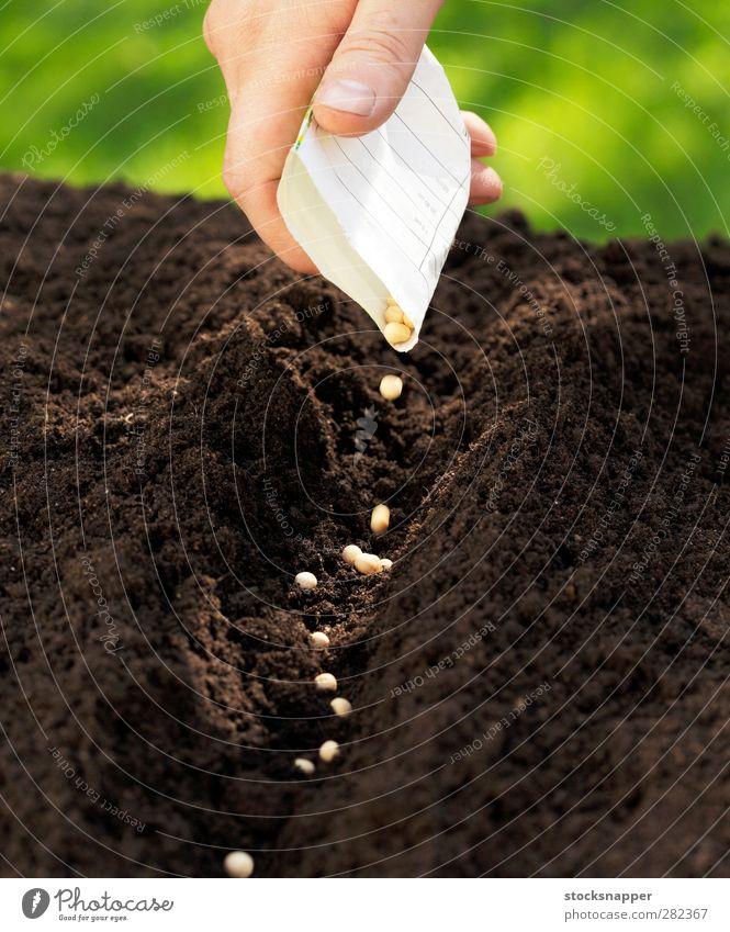 Erbsen Aussaat Zuckererbsen Erde Samen Saatgut fallen Tüte Hand Finger säen Reihe Landwirtschaft Ackerbau Beginn natürlich Gartenarbeit Frühling