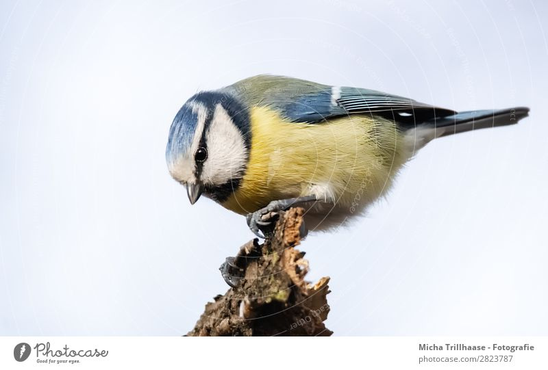 Blaumeise Porträt Himmel Natur blau weiß Tier schwarz gelb Auge natürlich klein Vogel leuchten Wildtier sitzen Feder Schönes Wetter
