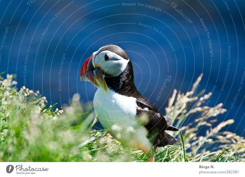 Puffin blau grün rot Tier schwarz Gras Vogel Wildtier Tiergesicht Fressen Island Papageitaucher