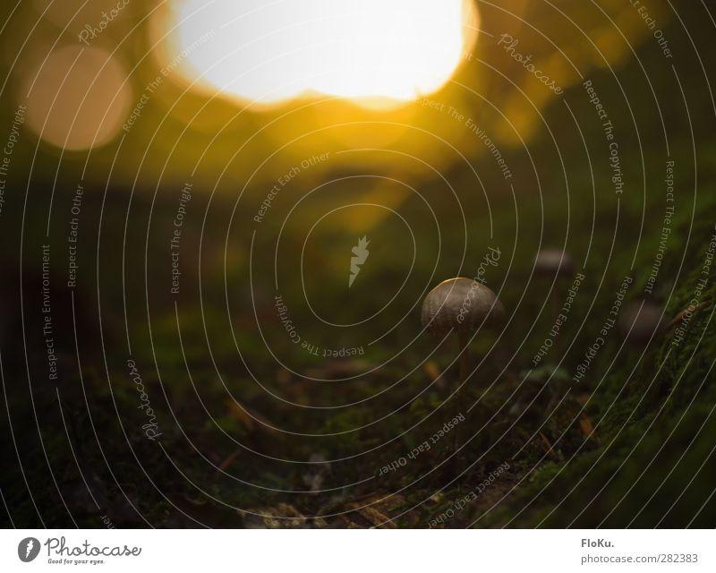 davon werd' ich doch nicht satt Umwelt Natur Pflanze Sonnenlicht Herbst Moos Wildpflanze Wald dunkel klein braun gelb grün Stimmung Pilz Waldboden ansammeln