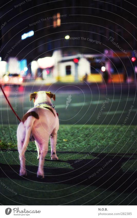 Urban Dog Nights Stadt Stadtzentrum Menschenleer Haus Verkehrswege Straße Straßenkreuzung Tier Haustier Hund 1 beobachten ästhetisch Neugier Abenteuer