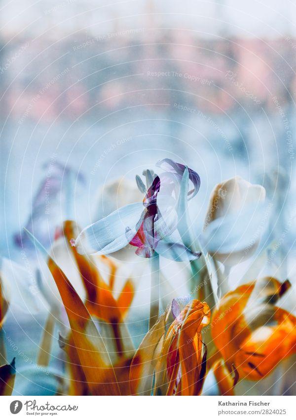 Blumen Tulpen verblüht Doppelbelichtung Kunst Natur Pflanze Frühling Sommer Winter Blatt Blüte Blumenstrauß Blühend leuchten gelb gold grün violett rosa rot