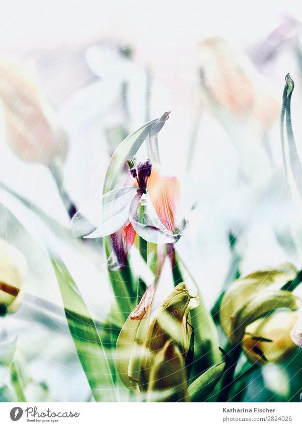 Tulpen verblüht malerisch Blumenstrauß Kunst Natur Pflanze Frühling Sommer Herbst Winter Blatt Blüte Blühend leuchten gelb grün violett orange rosa rot türkis