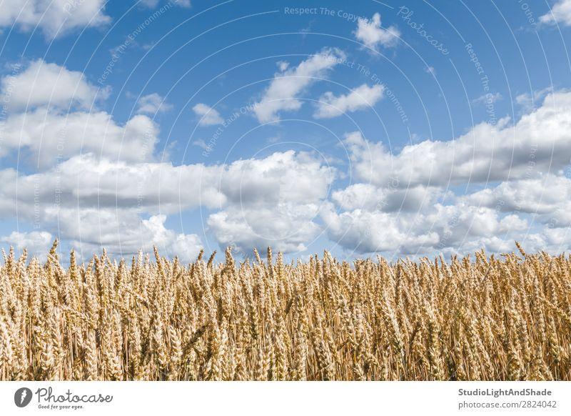 Goldenes Weizenfeld unter blauem Himmel schön harmonisch ruhig Sommer Kultur Umwelt Natur Landschaft Pflanze Wolken Horizont Wiese Wachstum hell natürlich gelb