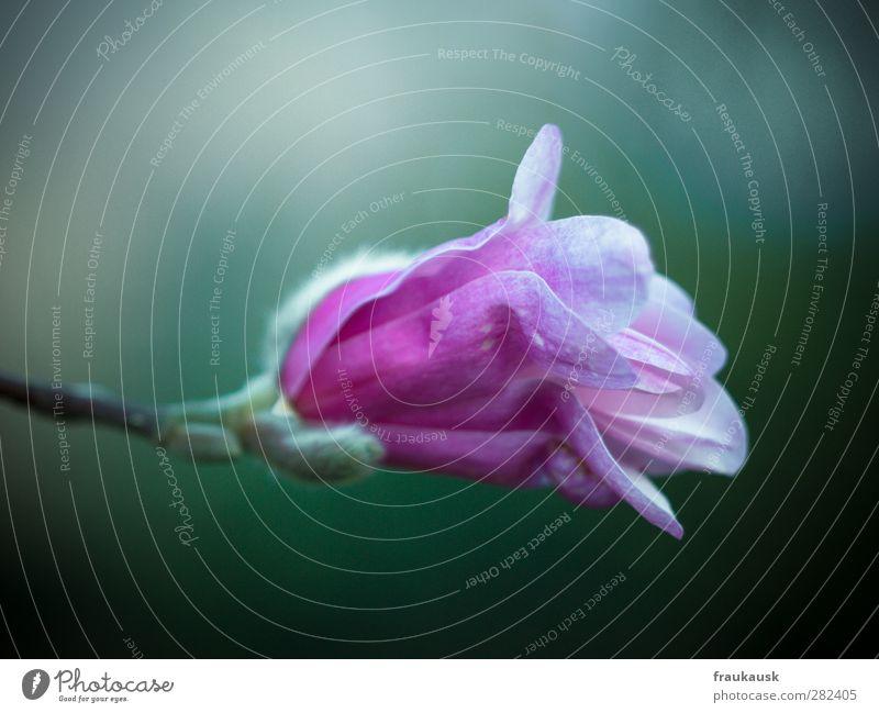 Rosa Natur Pflanze Frühling Blüte Garten rosa schön Zufriedenheit Magnolienblüte Blütenknospen available light zart mehrfarbig Außenaufnahme Nahaufnahme