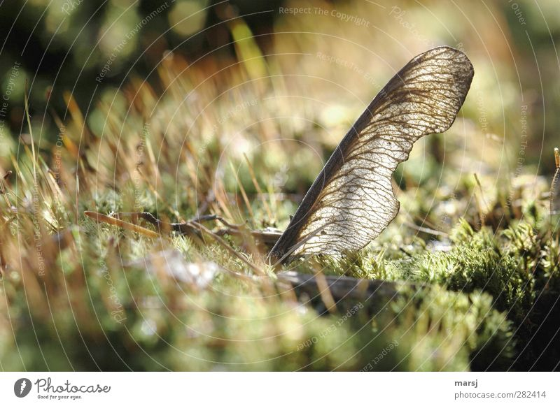 Endlichkeit Natur alt grün Pflanze Blatt Herbst Frühling braun natürlich Moos Ahorn verblüht Ahornsamen