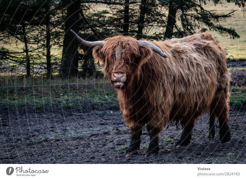 wer ist geknickt? Tier Kuh Rind 1 braun Schottisches Hochlandrind Horn Zentralperspektive Blick in die Kamera