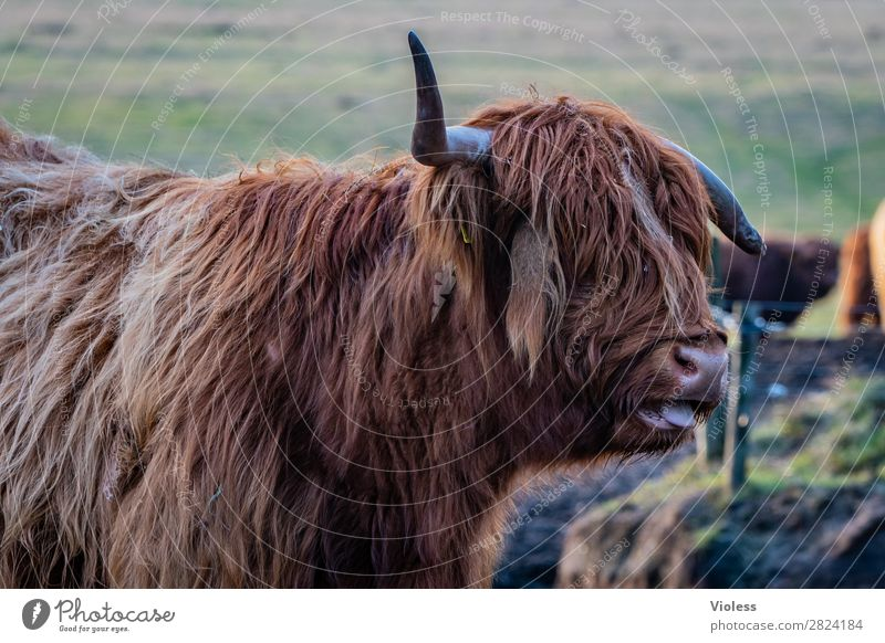 bäääähh Fell Kuh Horn Schottland Rind Schottisches Hochlandrind