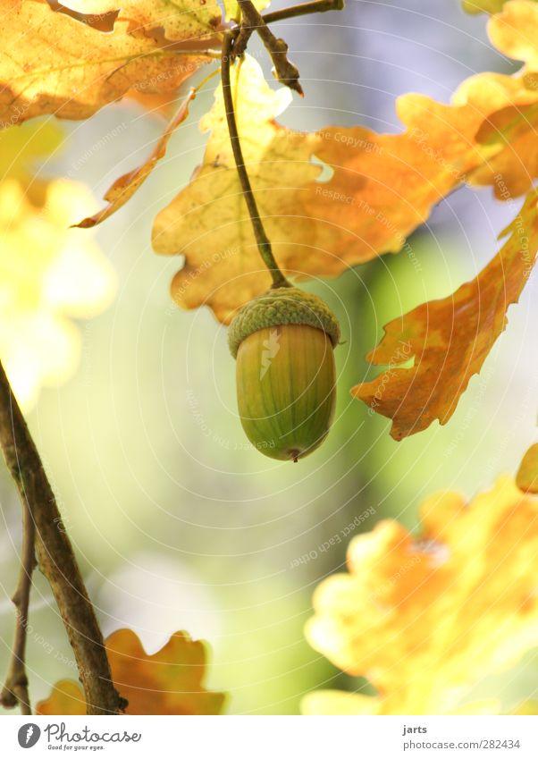 herbstfrucht Umwelt Natur Pflanze Herbst Schönes Wetter Baum Wald natürlich Eicheln Blatt Farbfoto Außenaufnahme Nahaufnahme Detailaufnahme Menschenleer