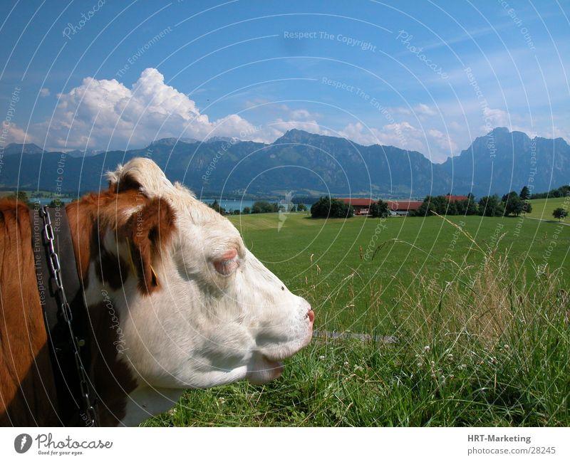 Kuh vor den Alpen Himmel Wiese Berge u. Gebirge