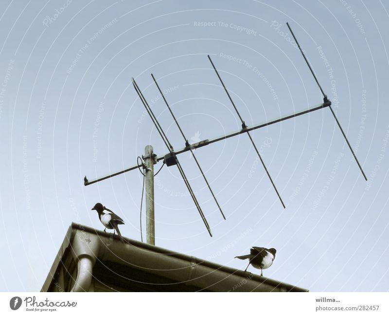 Abhöraffäre Podcast 2 Vogel Elster Antenne Tierpaar beobachten hören Kommunizieren Konflikt & Streit Neugier Misstrauen Hochmut ignorant uneinig Kontrolle