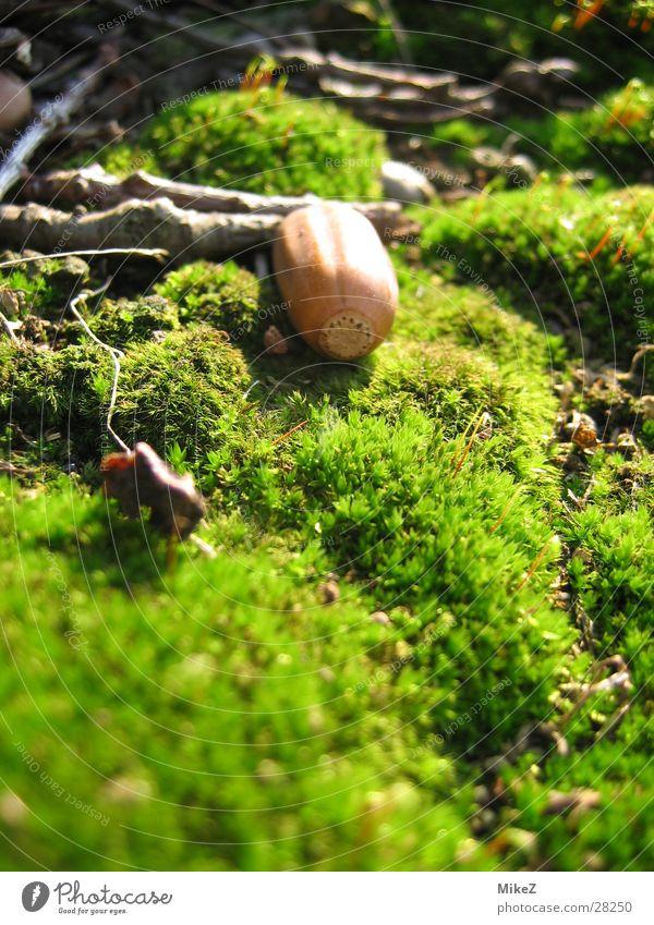 Die verträumte Eichel Natur grün Frühling Moos Eicheln