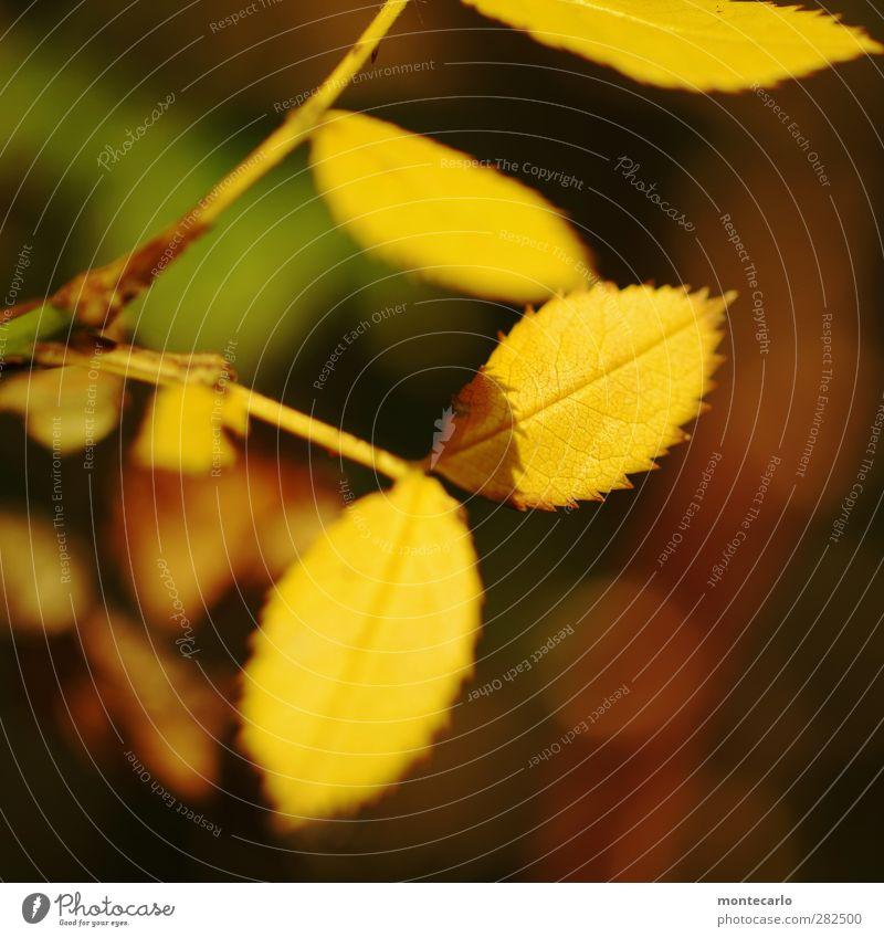 herbstwärme Umwelt Natur Pflanze Sonnenlicht Herbst Baum Sträucher Blatt Grünpflanze Wildpflanze alt dünn authentisch einfach glänzend klein natürlich Spitze