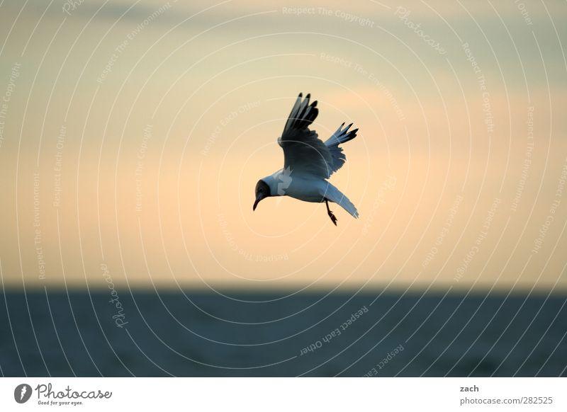 König der Möwen Natur Tier Wasser Himmel Horizont Schönes Wetter Küste Ostsee Vogel Lachmöwe 1 Brunft fliegen Jagd blau Flügel Schnabel Meer Farbfoto