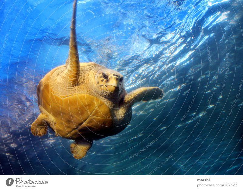 durchs Wasser gleiten Tier Wildtier Tiergesicht Aquarium 1 blau gelb Schildkröte Schildkrötenpanzer Riesenschildkröte Paddeln Meer Südafrika