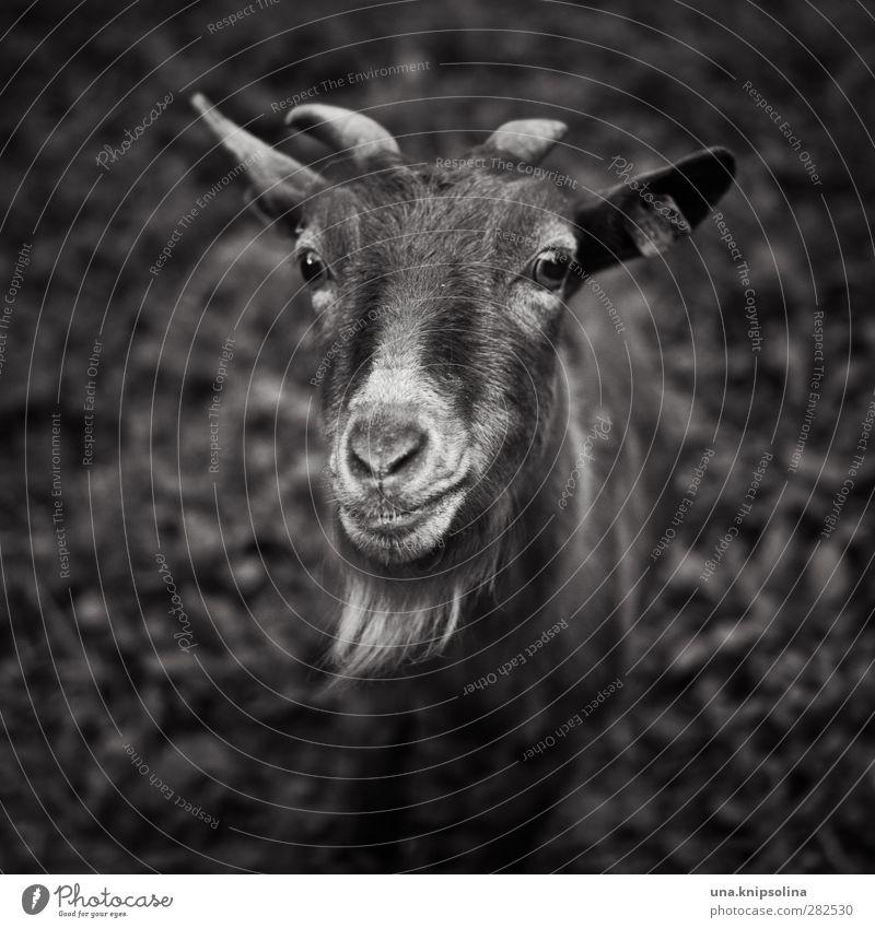 mäh? Natur Tier Wiese Nutztier Tiergesicht Fell Ziegen Ziegenbock Horn 1 beobachten natürlich Neugier Schwarzweißfoto Außenaufnahme Schwache Tiefenschärfe