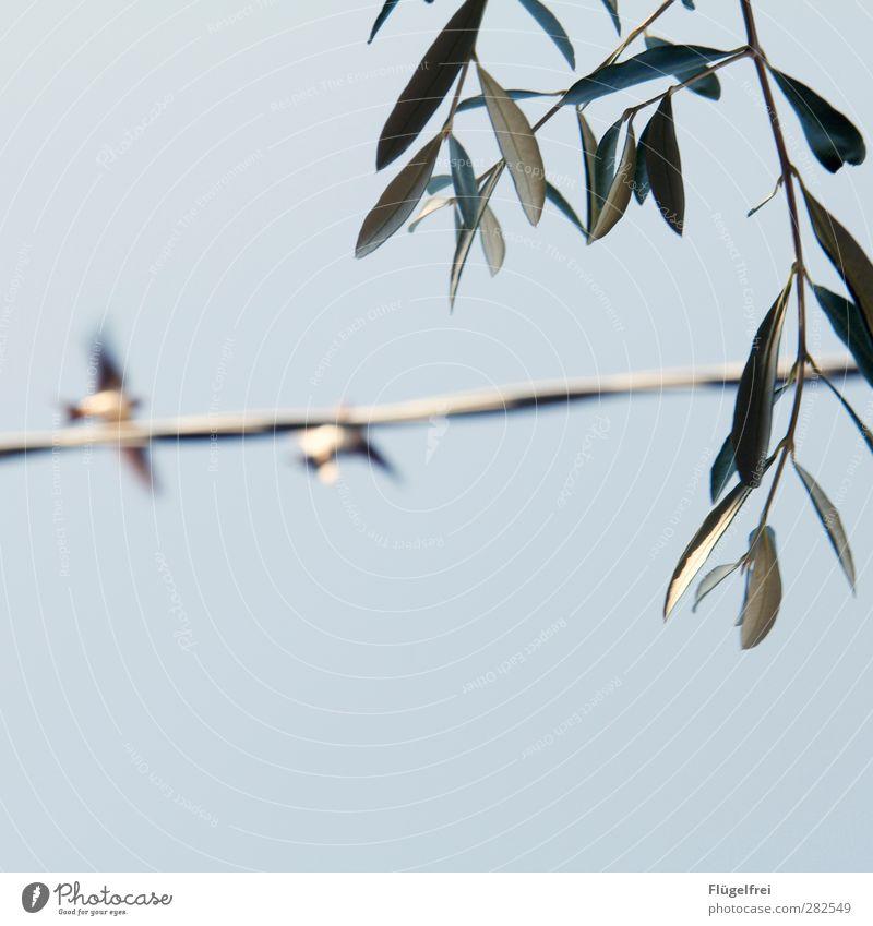 italienische Sommeridylle Natur Pflanze Himmel (Jenseits) Blatt Tier Freiheit fliegen Vogel Ast Wolkenloser Himmel Stahlkabel Schwalben Olivenbaum Baum