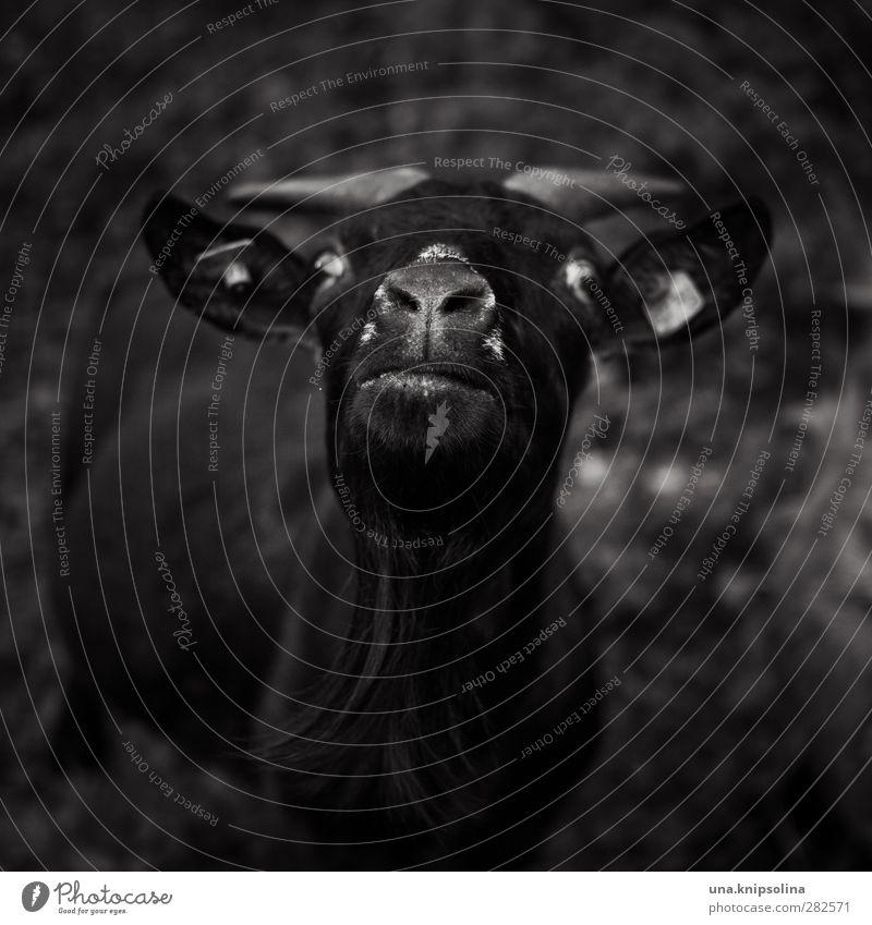 black goat Tier Feld Nutztier Tiergesicht Fell Ziegen Horn 1 beobachten lustig verrückt schwarz Schielen Blick Schwarzweißfoto Außenaufnahme Textfreiraum oben