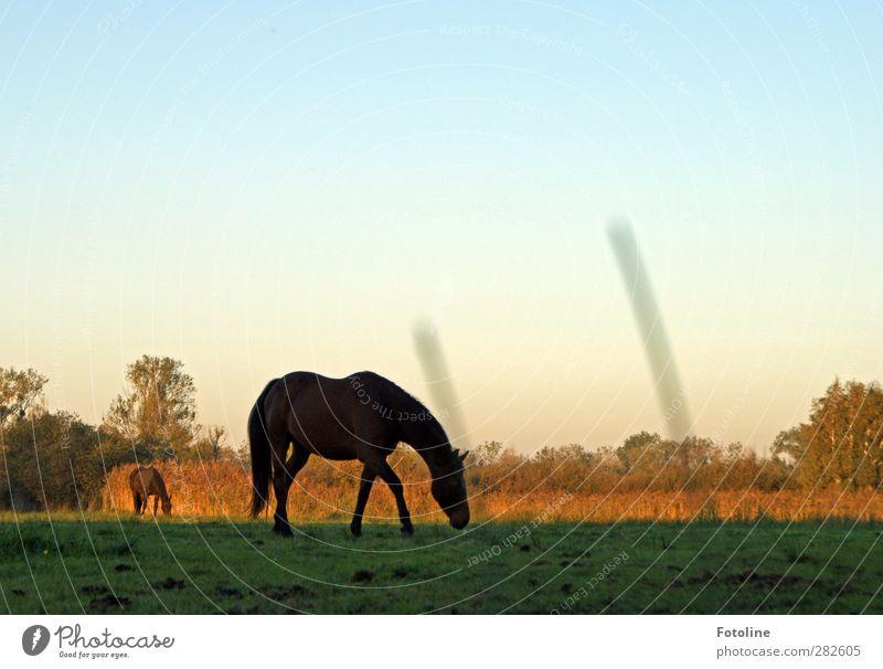 Frühstück Umwelt Natur Pflanze Tier Urelemente Erde Himmel Wolkenloser Himmel Baum Gras Wiese Feld Pferd natürlich Weide Fressen Farbfoto mehrfarbig