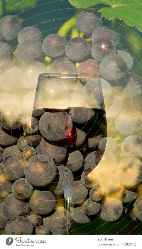 Perlwein Frucht Ernährung Getränk Alkohol Wein lecker Weintrauben Weinberg Weinglas Beeren Spätburgunder Rotwein Rotweinglas Doppelbelichtung Außenaufnahme