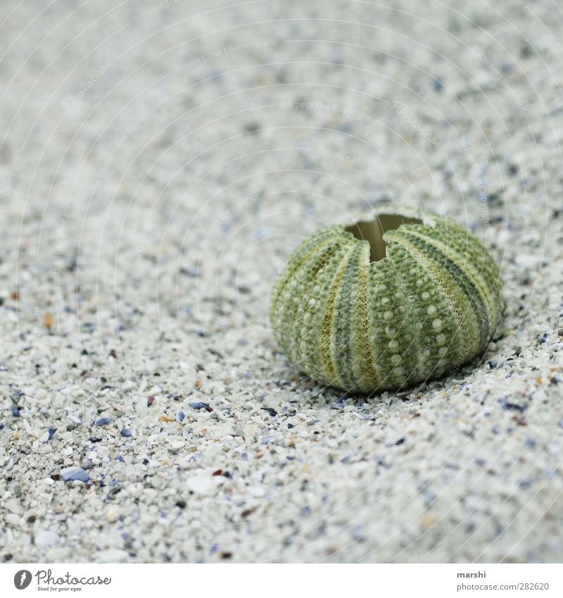 ausgelebt Natur grün Strand Tier Hülle Strandgut Gehäuse Seeigel Seeigelskelett