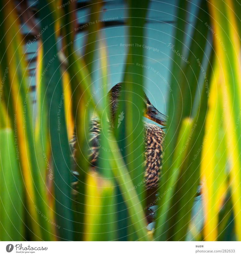 Entertainer (Backstage) Umwelt Natur Tier Urelemente Gras Blatt Seeufer Teich Wildtier Vogel 1 authentisch lustig grün Schilfrohr Versteck Tarnung Entenvögel